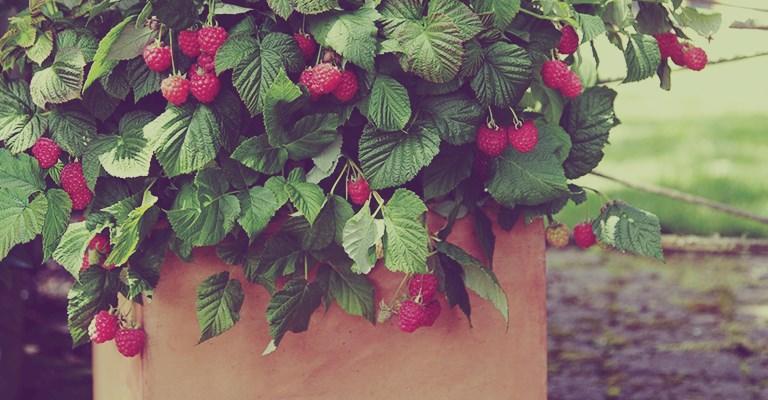 cultivez vos petits fruits en pot