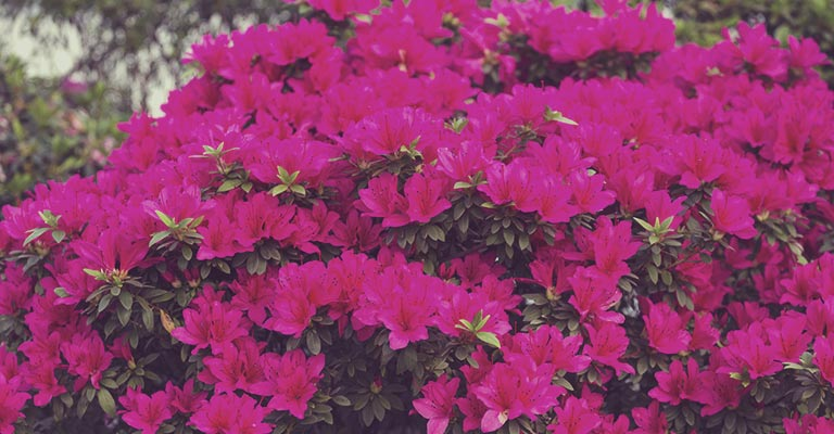 Azalea shrubs love shade in your garden