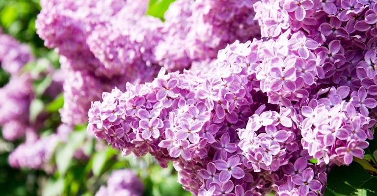 Comment planter et prendre soin d'un lilas