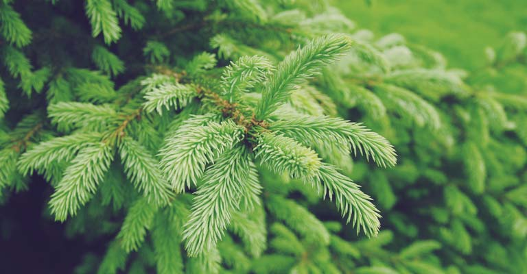 Evergreens: year-round beauty in your yard