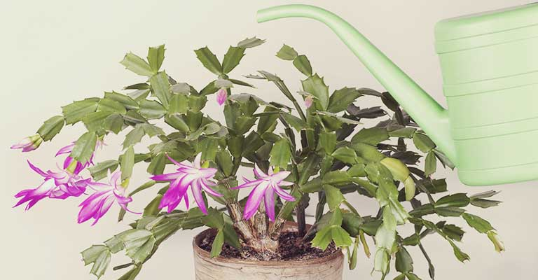 Caring For Christmas Cactus.Caring For Christmas Cactus